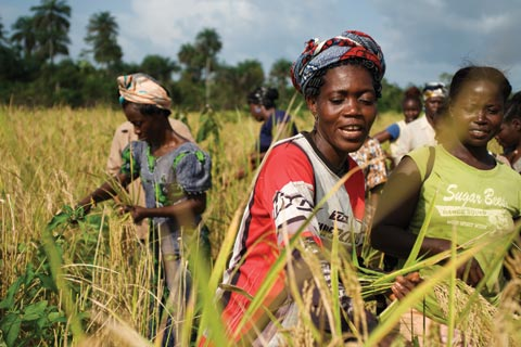 West Africa: Local Rice Makes the Grade in West Africa
