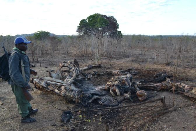O drama da caça furtiva ao elefante em Moçambique