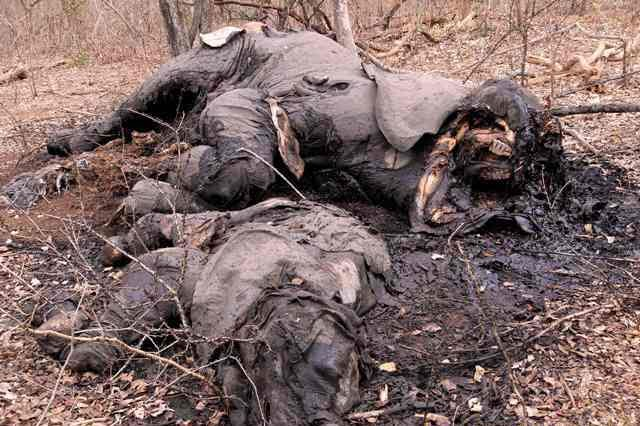 OFFICIAL COMPLICITY IN MOZAMBICAN ELEPHANT SLAUGHTER